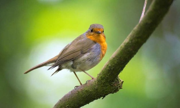 How To Attract Robins to your Garden