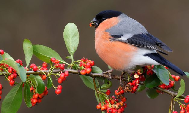 What Do Bullfinches Eat